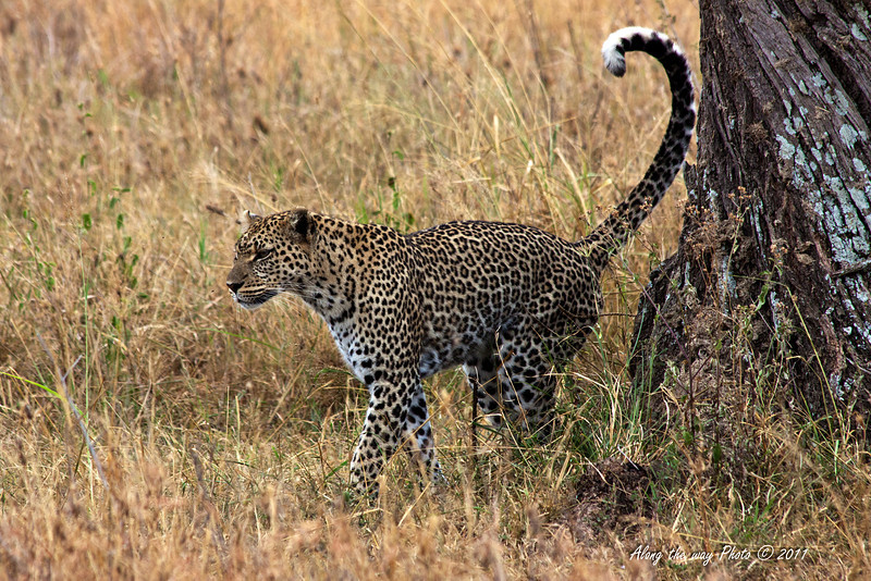 Leopard-57<br /> Leopard in the Serengeti going hunting.