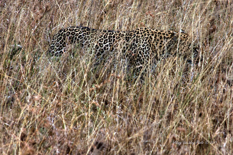 Leopard-50<br /> Leopard hunting in the grass in the Serengeti. About twenty feet away. They blend in pretty good in the tall grass.