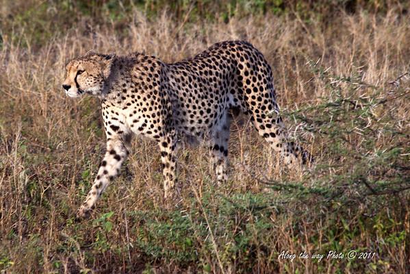 Cheeta-122<br /> Cheeta in the Serengeti