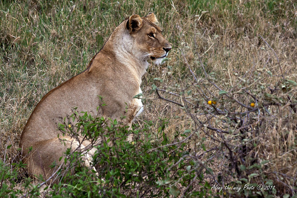 Lions-198<br /> Female Lion in the Serengeti.