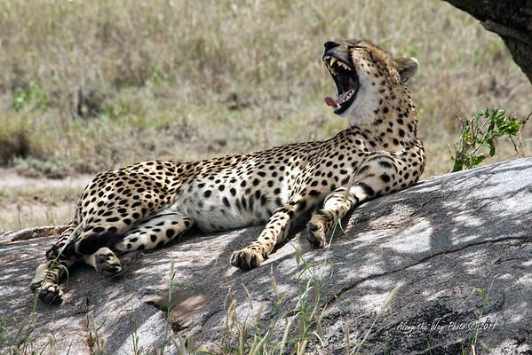Cheeta-44<br /> Just woke up from his nap