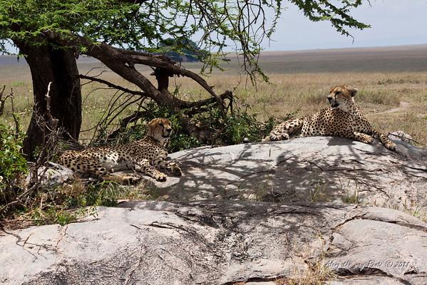 Cheetas 7<br /> A pair of cheetas  in the Serengeti