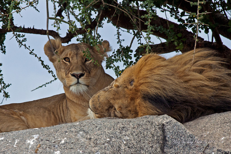 Lions 142<br /> Male and female lions sleeping in one of the Serengeti Kopjes.