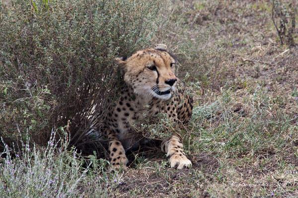 Cheeta-96<br /> Female Cheetah in the Serengeti