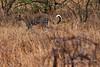 Leopard-54<br /> Serengeti Leopard