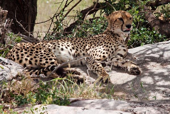 Cheeta-27<br /> Cheeta in the Serengeti