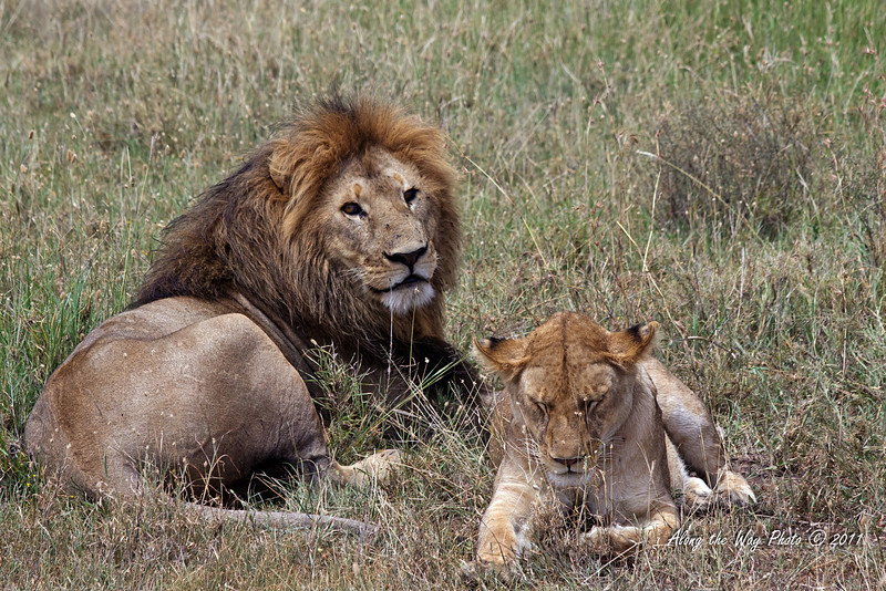 Lions-294<br /> Male and female Lions taking a break in the Serengeti