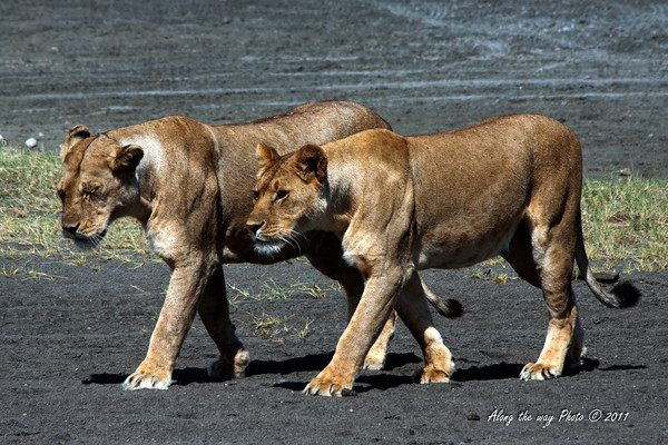 Lions-380<br /> Lions walking across part of a dry lake bed by Lake Masek.