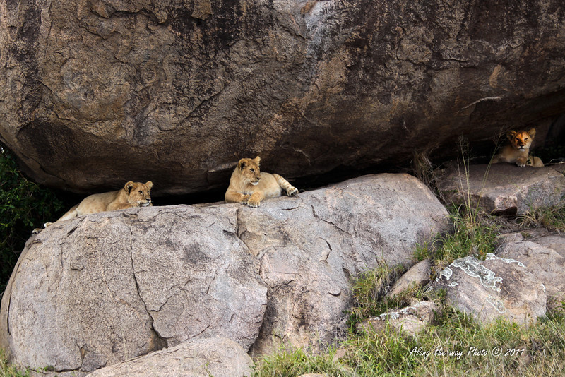 Lions-302<br /> Three Lion cubs taking a nap in some rocks in a Kopje.