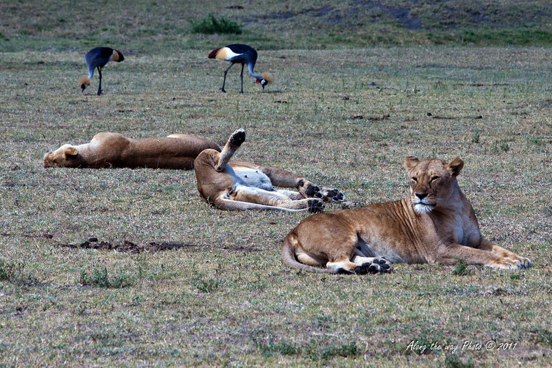 Lions-359<br /> Three female Lions with two Gray Crowned Cranes in the background.