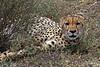 Cheeta-92<br /> Female Cheeta spotted watching me watching her.