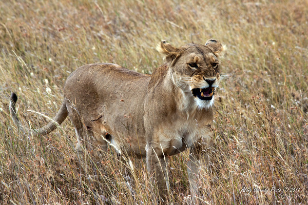 Lion-245<br /> Female lion hunting in the Serengeti.