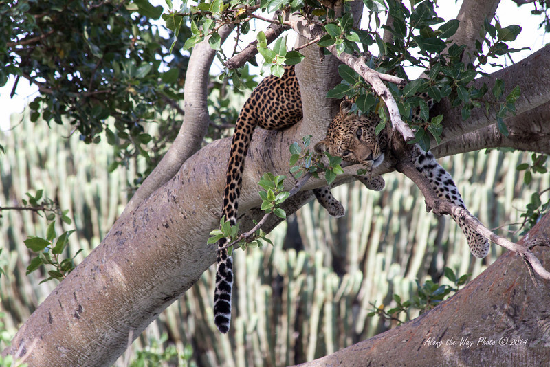 Leopard-6087<br /> Leopard laying in a tree trying to take a nap in the Serengeti.