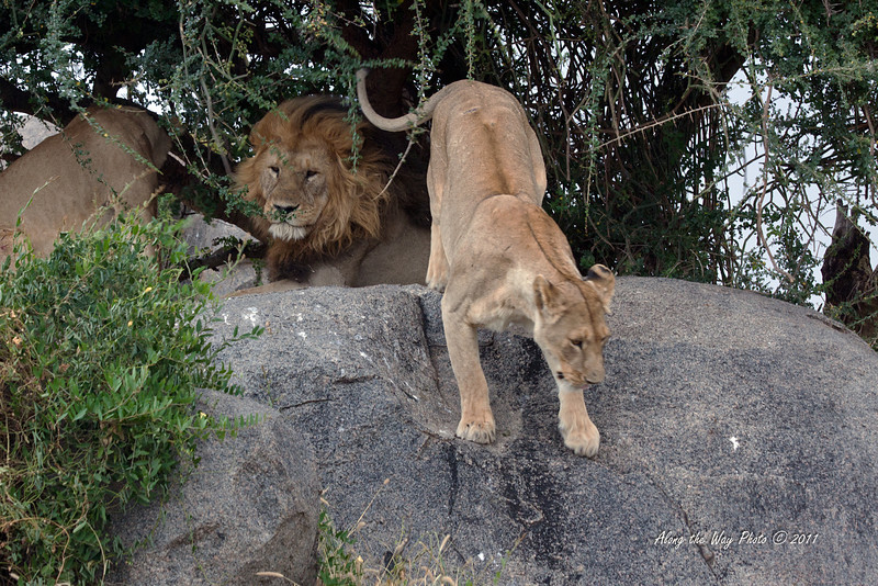 Lions-160<br /> One of the females decides to come down the rock after her nap.