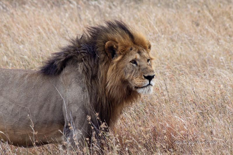 Lion-260<br /> Male Serengeti Lion