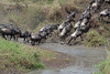 Migration 80<br /> Wildebeest crossing a river in the Serengeti.