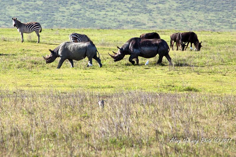 Rhino 39<br /> A pair of Rhino walking past Wildebeest and Zebra in the Ngorongoro crater