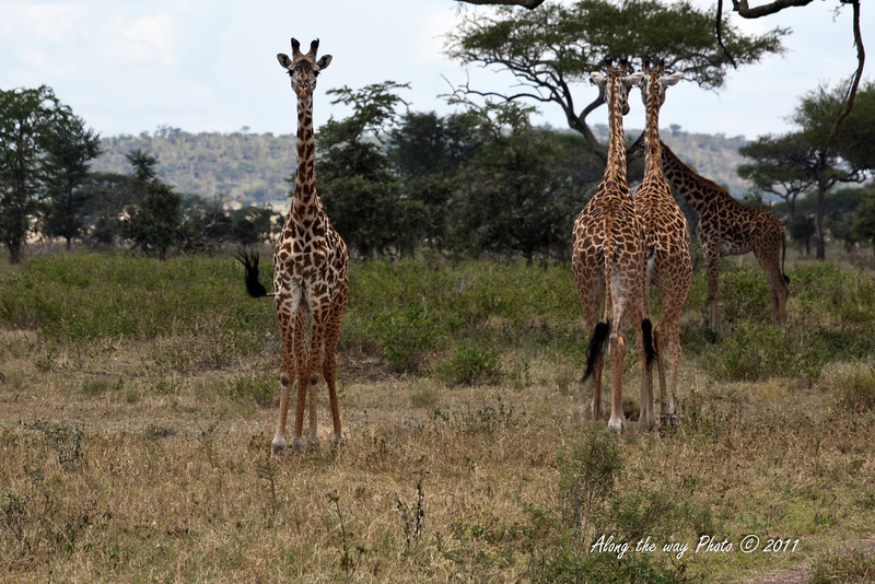 Giraffe 8<br /> Giraffes in the Serengeti