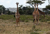Giraffe 8<br /> Giraffes in the Serengeti