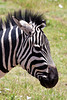 Zebra 45<br /> Zebra in Serengeti