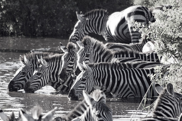 Migration 38<br /> Zebras getting a drink at a crossing.