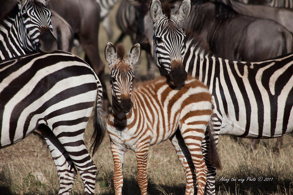 Zebra 43<br /> Mother with her baby in a heard of Zebra.