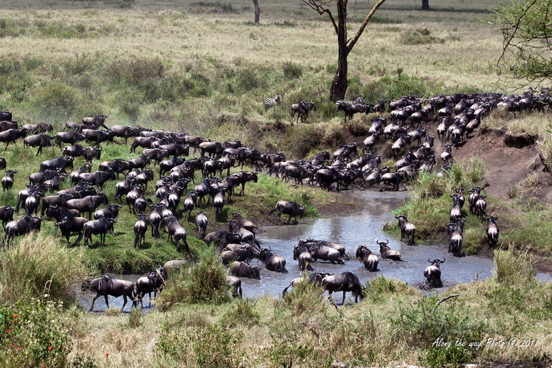 Migration 75<br /> Wildebeest crossing a river in the Serengeti.