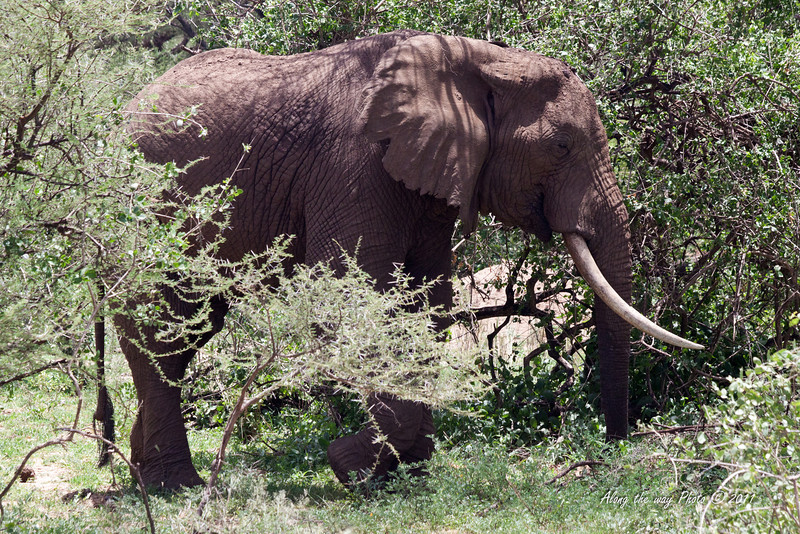 Elephant 124<br /> Elderly Elephant