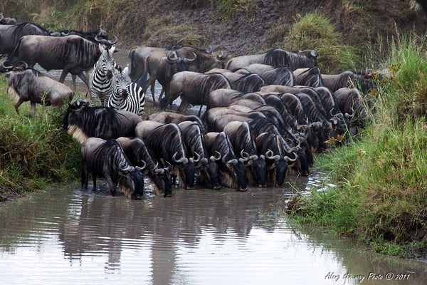 Migration 103<br /> Wildebeest stopping for a drink of water at a river crossing.