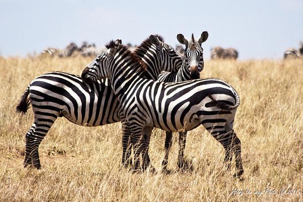 Zebra 8<br /> Three zebra in Serengeti.