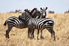 Zebra 8<br /> Three zebra in Serengeti.