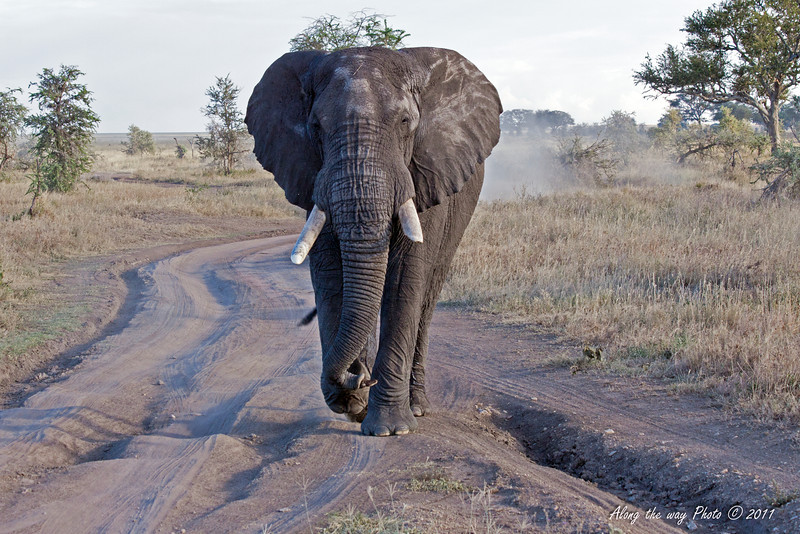 Elephant 9<br /> Elephant following our Vehicle down the road.