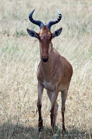 HeartBeest 1<br /> Heartbeest Buck in the Serengeti.