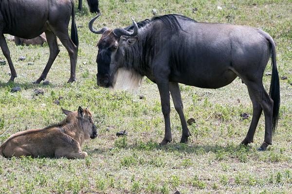 Wildebeest 19<br /> Wildebeest with her calf.