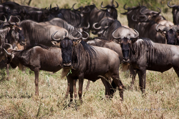 Wildebeest 11<br /> Wildebeest standing on the edge of the herd watching us in the Serengeti.