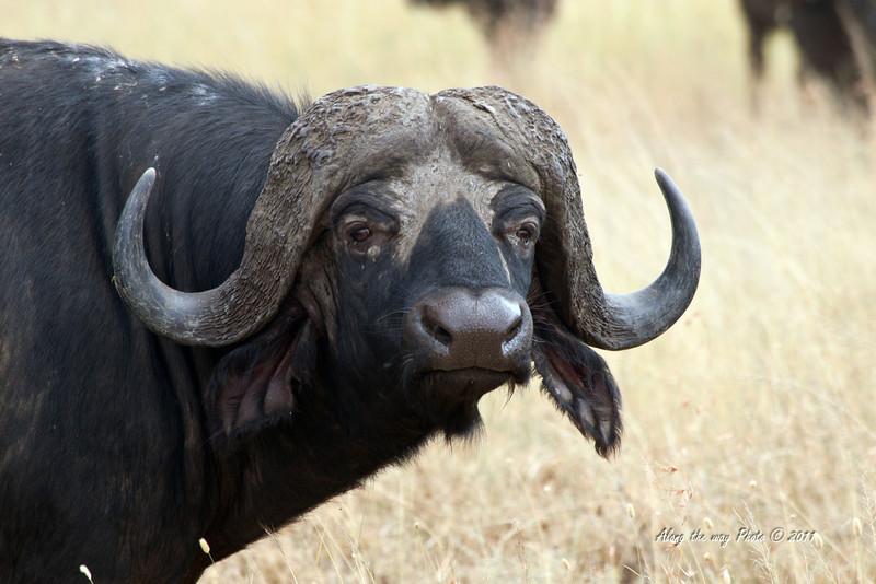 Cape Buffalo 5<br /> Cape Buffalo in the Serengeti