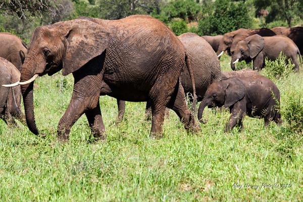 Elephant 176<br /> Elephants moving from mud hole.