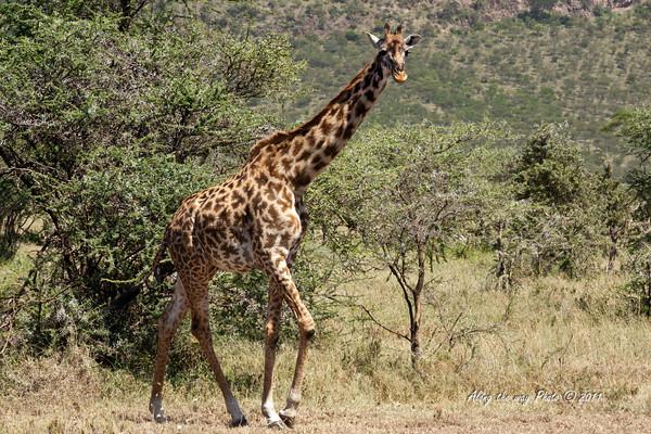 Giraffe 2<br /> Giraffe walking out of trees in the Serengeti.