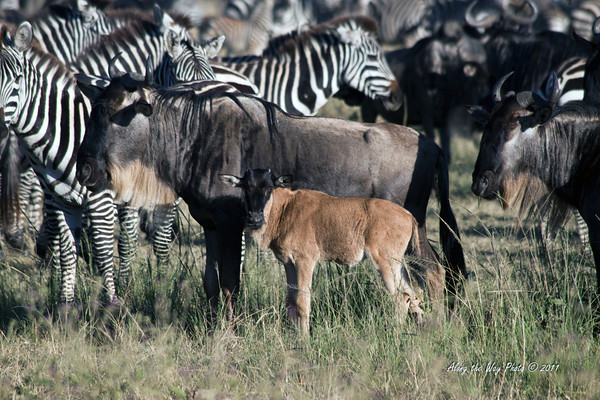 Zebra 20<br /> Herd of Zebra with a wildebeest calf and his mom in the Serengeti.