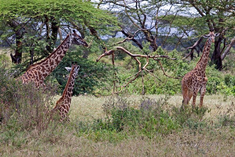 Giraffe 16<br /> Giraffes in the Serengeti.