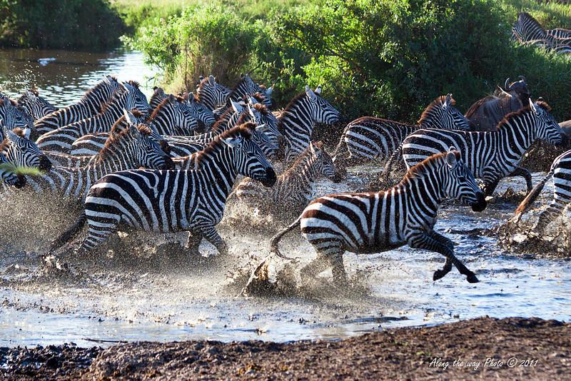 Migration 28-3<br /> Zebras crossing a river.