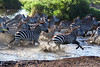 Migration 28-3<br /> Zebras crossing a river.