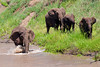 Elephant 158<br /> Elephants coming down the river in the Serengeti.