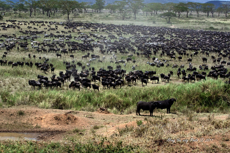 Migration 62<br /> Herd of Wildebeest and Zebra with some Cape Buffalo moving towards a river crossing. The herd extended for several miles.