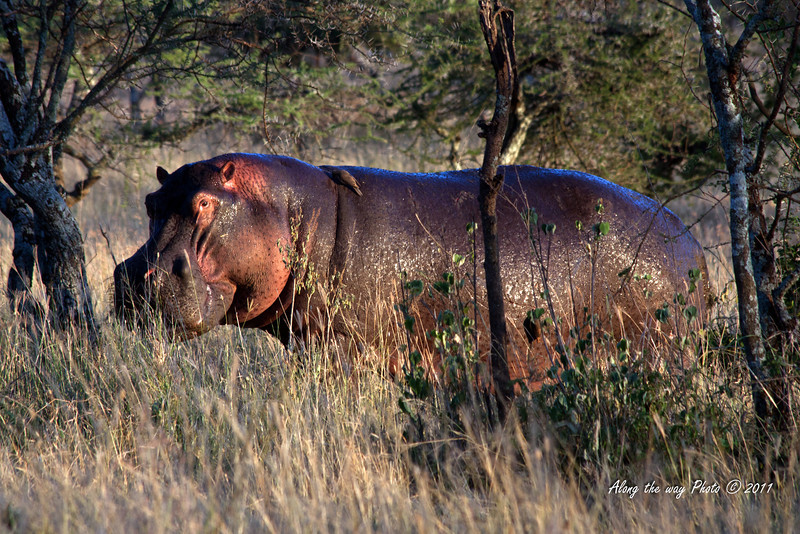 Hippo 5<br /> Male Hippo got kicked out of the herd. Will remain by himself for a week or so and then return.