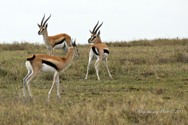 Gazel 3<br /> Three Gazel in the Serengeti.