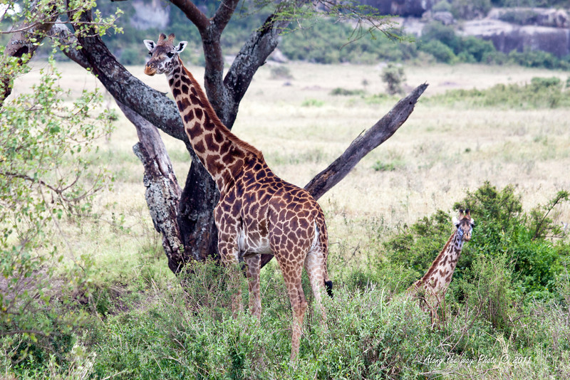 Giraffe 15<br /> Giraffe with her baby in the Serengeti.