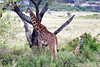 Giraffe 15<br /> Giraffe with her baby in the Serengeti.