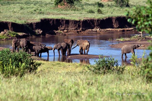 Elephant 203<br /> Herd of Elephants crossing a river.