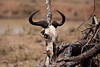 Wildebeest 6287<br /> Wildebeest skull in the Serengeti. It takes approx. 24 hours for a carcass to be cleaned by scavangers in the Serengeti.